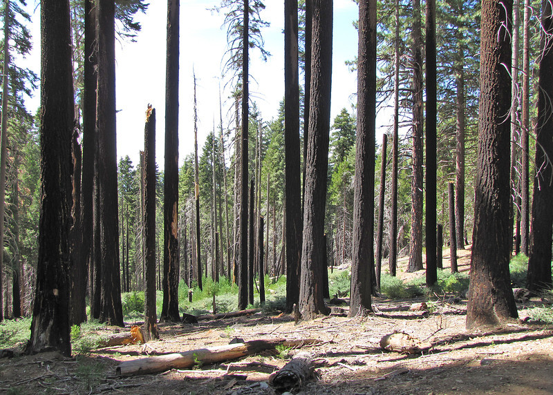 In 1971, the National Park Service began to reintroduce fire in the grove. These fires are set and managed by the National Park Service.  Sequoia seeds need three things in order to become a viable tree, all of which are provided in some way by fire.  Seeds need bare mineral soil, sunlight, and water. Bare mineral soil is provided by fire, which burns off the build-up of needles, twigs, and bark pieces that would block the seed's access to soil. Fire also opens up the forest's canopy, allowing sunlight to reach the seed. Finally, sequoias usually get the water they need from groundwater just below the surface of the grove. Fire thins out the established trees, ensuring that there is more groundwater to go around for the remaining trees and more water available to new seedlings.