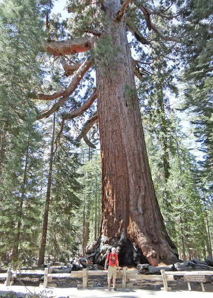 The Grizzly Giant is, at 1900–2400 years old, the oldest tree and second largest tree in the grove, with a volume of 34,010 cubic feet.  It is the 25th largest tree in the world. It is 210 feet tall, and has a base 30 feet in diameter
