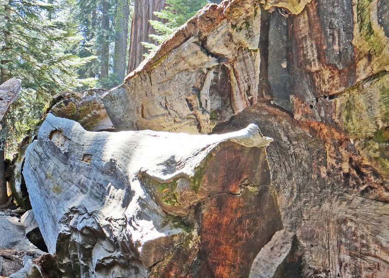 "The Wawona Tunnel Tree was renamed the ""Fallen Tunnel Tree"" after it toppled over during a snow storm in 1969. <br /> <br /> In 1881, this was the first tree to have a tunnel carved through its trunk."