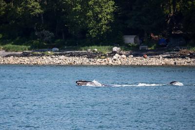 Juneau - Humpback Whale