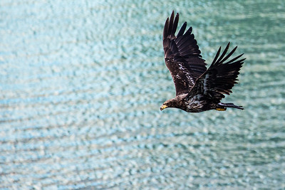 Juneau - Juvenile Bald Eagle - One of many hunting below our ship cabin