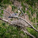 Blue Heron feeding baby in Yakima Canyon, Wa