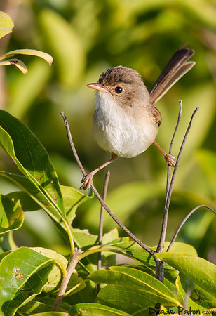 Red-backed Fairy-wren (Female)