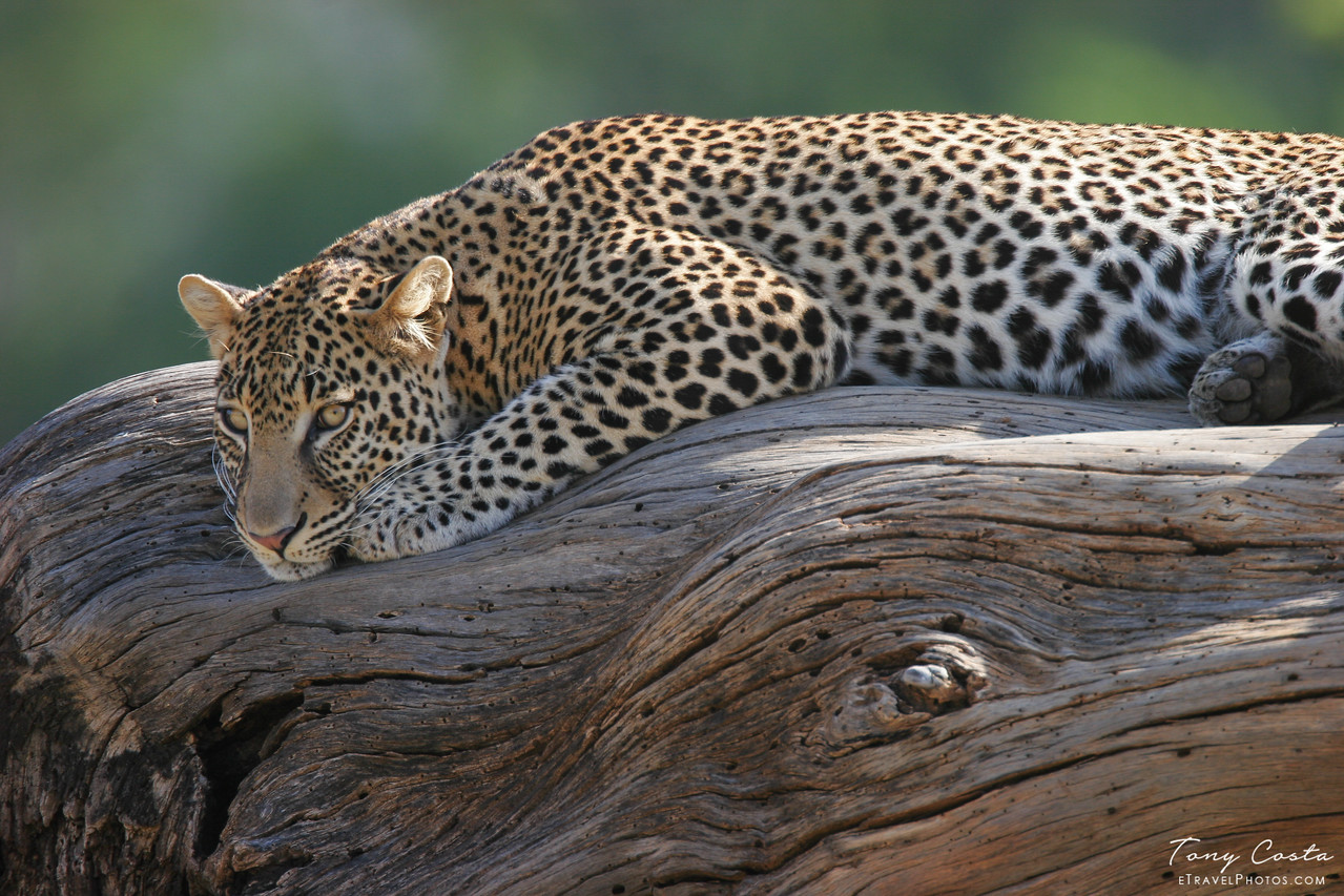Leopard on a log