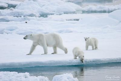 Polar bear and cubs on sea ice