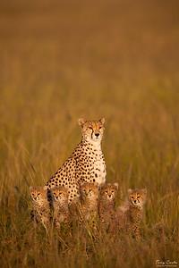 Cheetah and five cubs