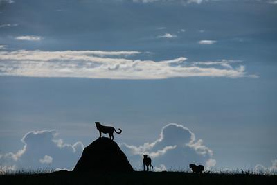 Cheetahs on a termite mound
