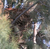 Mercey Hot Springs:  One Long Earned Owl on nest, and a second one below and to the right.