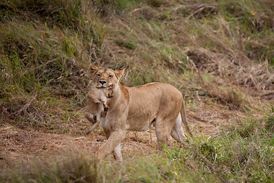Lion carrying a cub