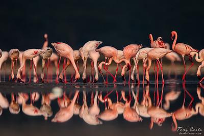 Flamingo reflections on Lake Nakuru