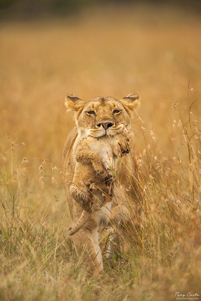 Lion carrying cub