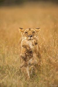 Lion carrying cub