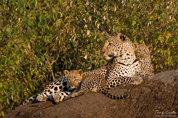 Leopard and cubs