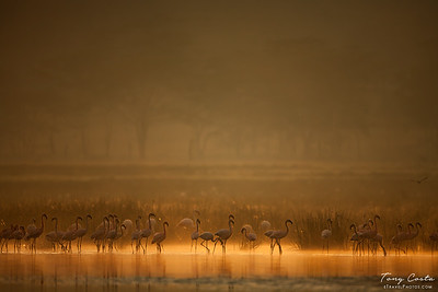 Flamingos at Sunrise