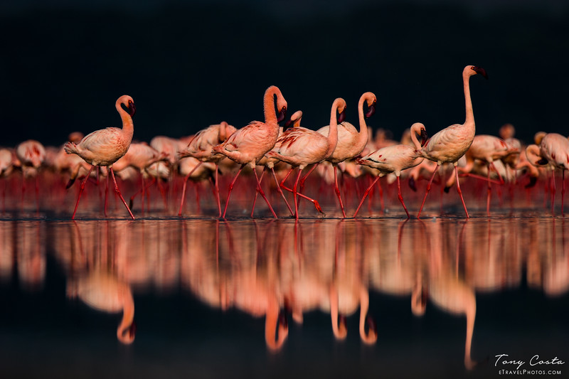 Flamingo reflections on Lake Nakuru