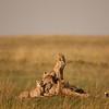 A pile of Cheetahs