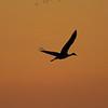 Sandhill Crane silhouette at sunset - Woodbridge Road, Lodi, Calif.