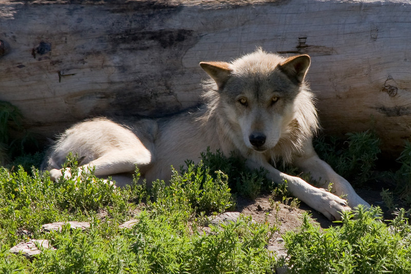 A Timber Wolf in the Kamloops Wildlife Park.