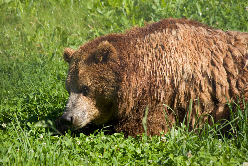 The Kamloops Wildlife Park has two Grizzly bears but on this very hot sunny morning, they did not feel like doing much. There was a large sprinkler spraying the bears keeping them cool so why move at all?