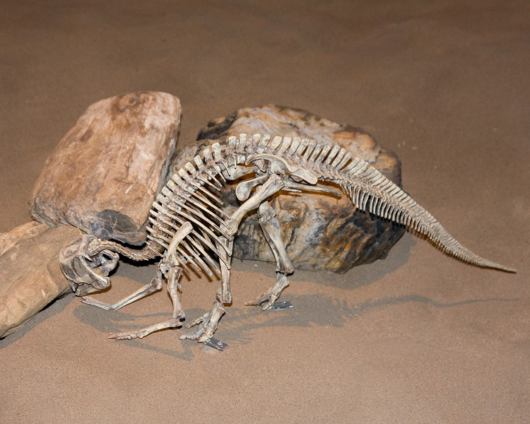 A baby dinosaur's skeleton - about the size of a medium sized dog.