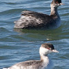 Eared Grebe and Horned Grebe