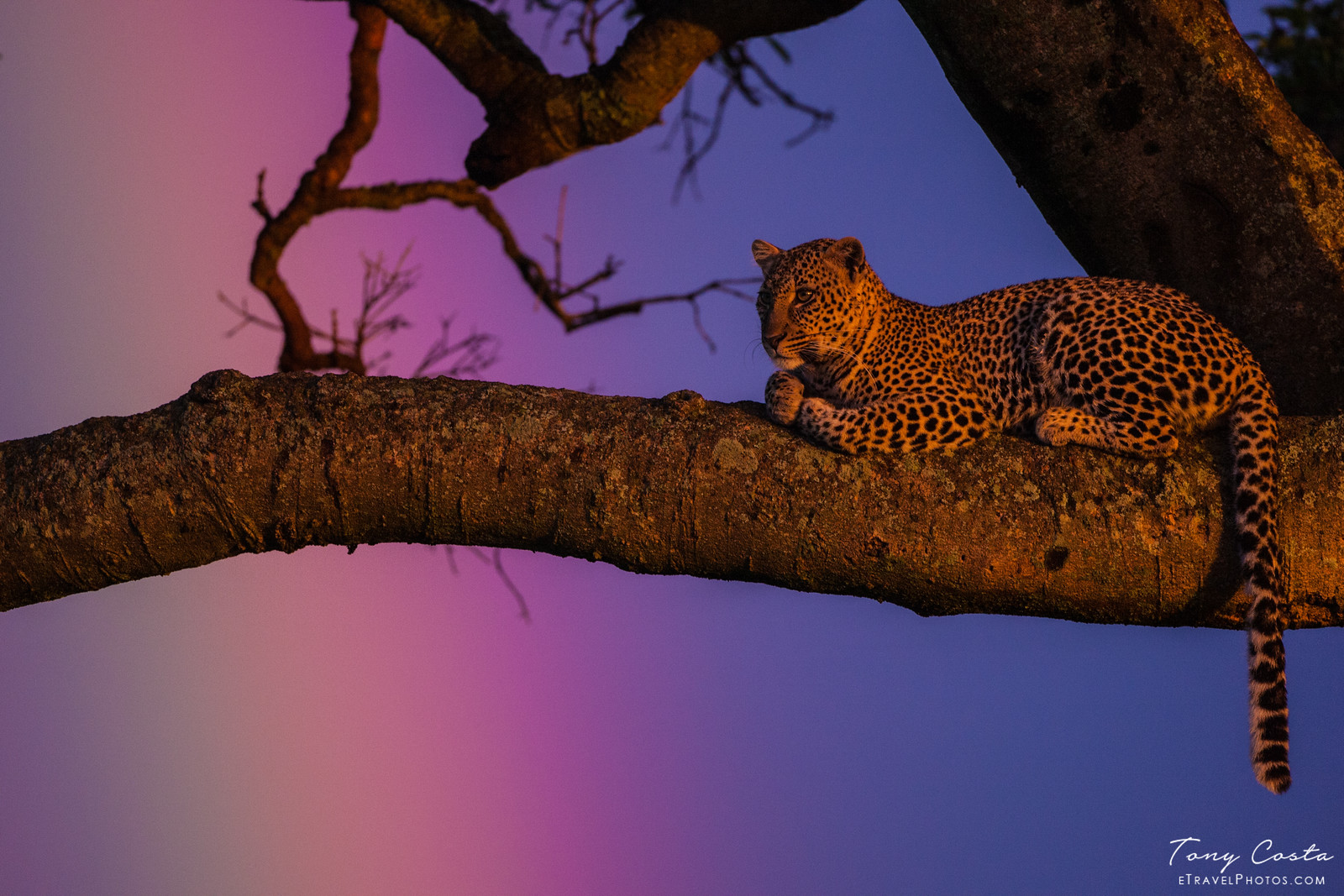 Leopard in a tree with a rainbow