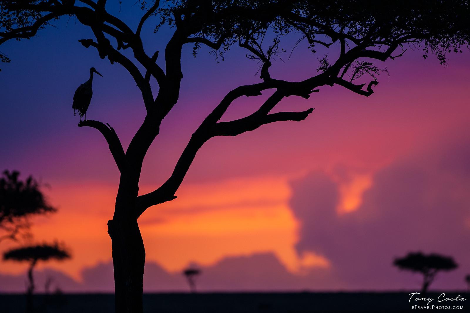 Marabou Stork at sunset