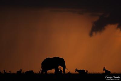 Elephant at susnet