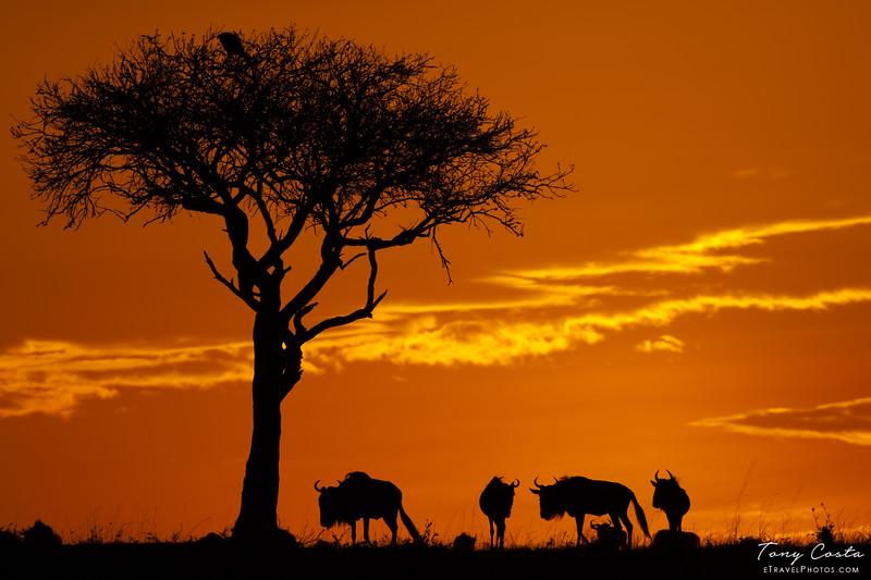 Wildebeest at sunset