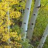 Aspen Fall Colors