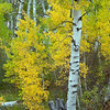 Aspen Fall Colors