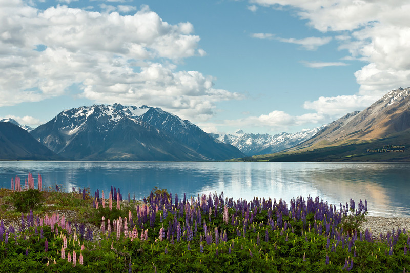 Lupine on Lake Ohao