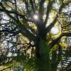 Rimu Tree