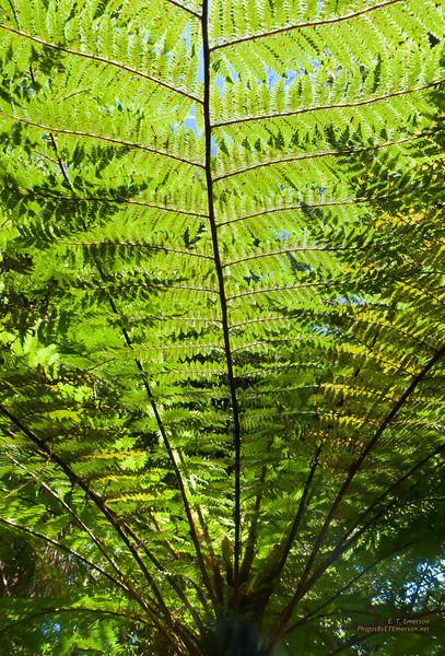 Fern Tree Frond