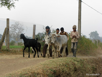 Bhandari farm – taking livestock to pasture