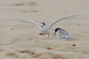 2011 January 09 Lake Conjola : Fairy Terns and Little Terns feeding chicks at Lake Conjola