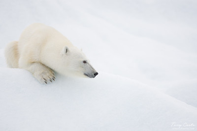Polar bear on an ice berg
