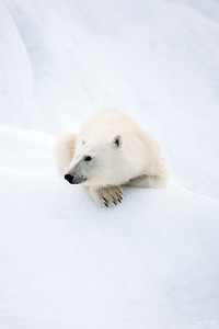 Polar bear on an ice berg