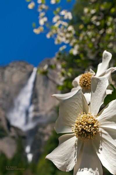 Dogwood in Yosemite