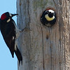 Acorn Woodpeckers (female with insect)