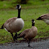 "Cackling Goose ""minima"" on right with Canada Goose on left"