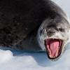 Seal in Dallman Bay