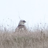 Rough-legged Hawk sitting on top of a ridge, Stage Road, San Mateo County, 1-6-2013