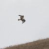 Rough-legged Hawk flying over a ridge, Stage Road, San Mateo County, 1-6-2013
