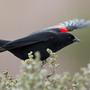 Red-winged Blackbird on Stage Road, San Mateo County, 1-2013