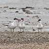 Caspian Terns, Coyote Point, 20-March-2013