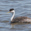 Clark's Grebe, Shoreline Lake