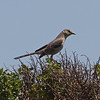 Northern Mockingbird, Palo Alto Flood Control Basin