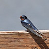 Barn Swallow, Palo Alto Flood Control Basin