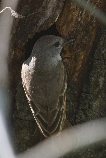 Ash-throated Flycatcher at nest hole